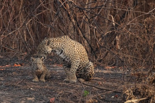 Volunteers coming to rescue jaguars, other animals injured during Brazil's wildfires