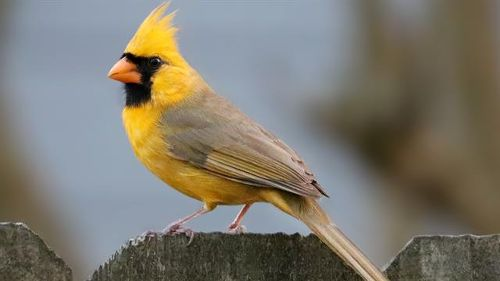 'One in a Million' Yellow Cardinal Spotted