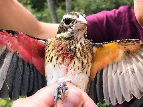 This gorgeous songbird is half male, half female