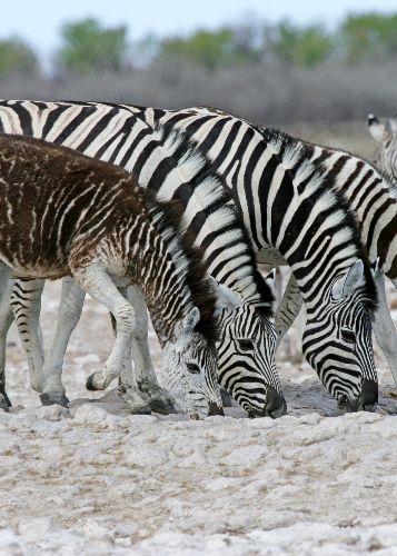 Spotted and oddly striped zebras may be a warning for species' future