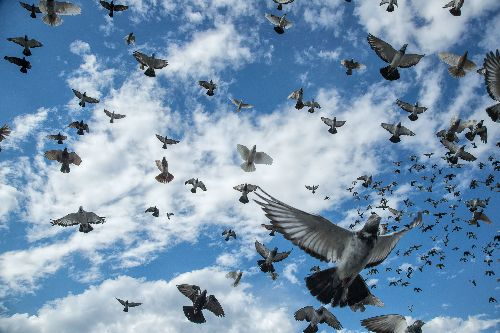 Inside the curious rooftop world of pigeon keepers