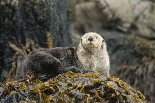 Seeotter retten das Seegras – und schützen dadurch ihr Ökosystem