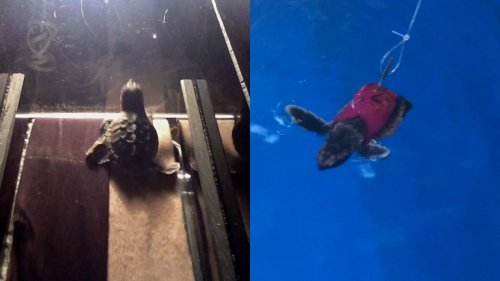 Baby-Meeresschildkröten auf dem Laufband – für die Wissenschaft