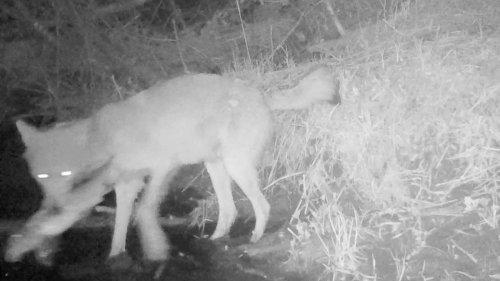 Voyeageur-Wölfe suchen sich ungewöhnliche Beute