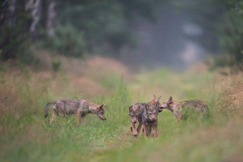 Der Wolf als Mitbewohner: Bald in weiten Teilen Deutschlands sesshaft?