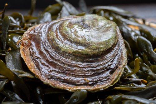 Europäische Austern vor Borkum