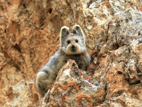 Seltenes Säugetier mit Teddygesicht lebt versteckt in chinesischen Bergen