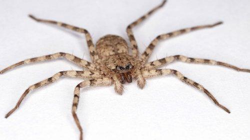 Diese Spinnen haben den schnellen Dreh beim Jagen raus