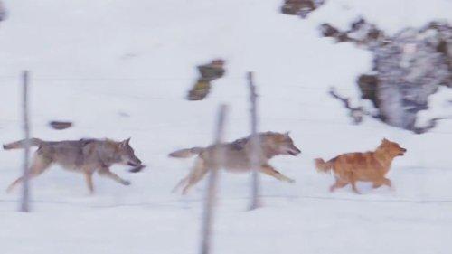 Wölfe treffen auf Hautsiere
