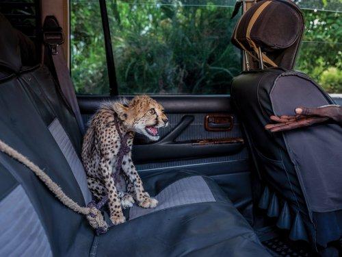 Geparden-Schmuggel in Somaliland