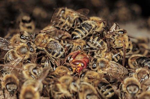 L'ingénieuse défense des abeilles japonaises