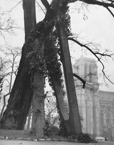 Ce robinier est le plus vieil arbre de Paris