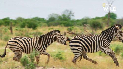 Un zèbre affronte un mâle dominant lors d'un violent combat