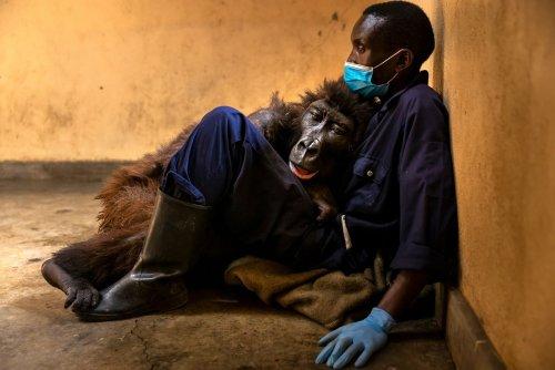 Ndakasi, la célèbre gorille des montagnes, est morte dans les bras de son soigneur
