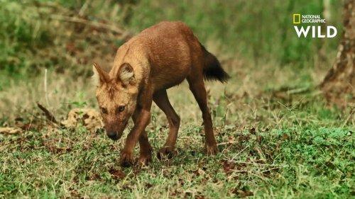 Le dhole, ce prédateur qui chasse les tigres et les panthères