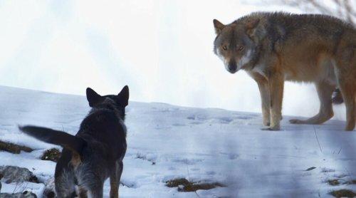Quand des chiens de berger des Carpathes affrontent des loups affamés