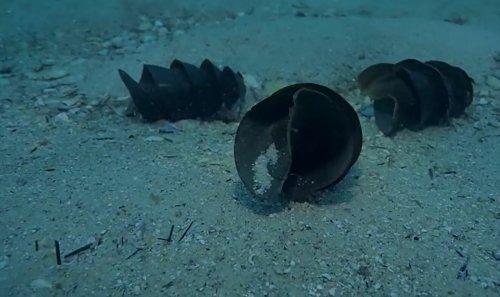 La bourse de sirène, cet étrange œuf de requin