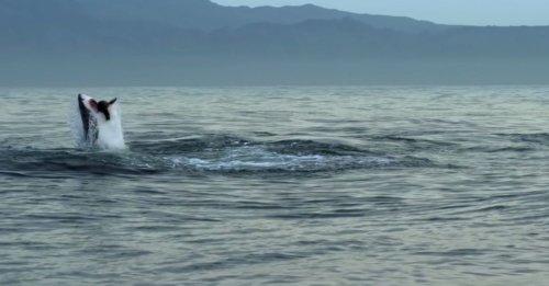 Attaque groupée d'une colonie d'otaries sur un requin