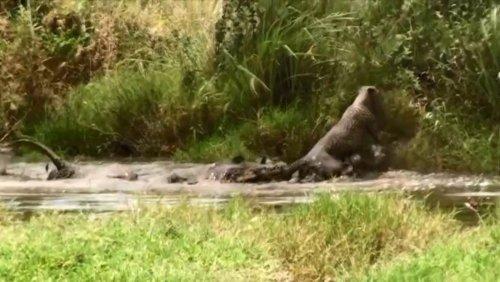 Un crocodile du Nil et un guépard s'affrontent violemment