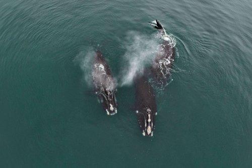 Zeldzame beelden van 'knuffelende' bedreigde walvissen