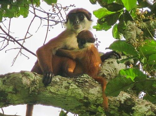 Eerste foto ooit gemaakt van een zeldzame Afrikaanse aap