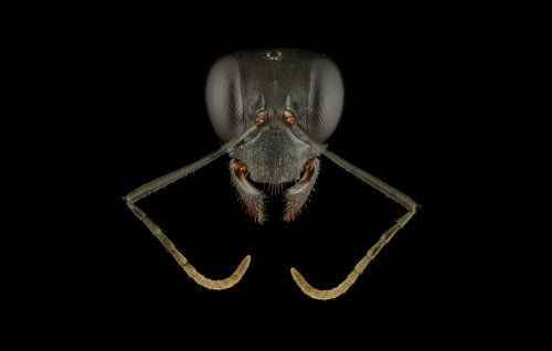Foto's van mierenkoppen tonen de pracht van deze insecten