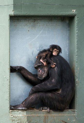 Moederchimpansees zijn net als menselijke moeders