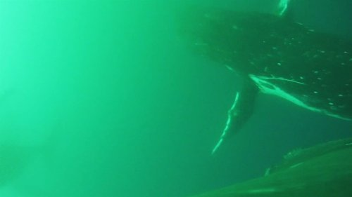 """Mira el primer video de ballenas """"aleteando"""" como pájaros"""