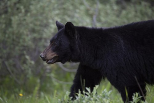 Tree planter dies after bear mauling in Northern Alberta