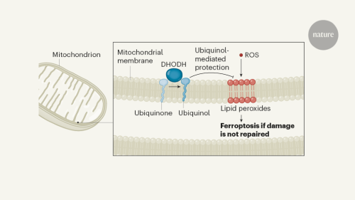 A mitochondrial gatekeeper that helps cells escape death by ferroptosis