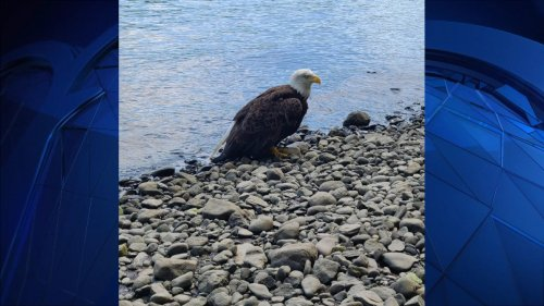 Firefighters Rescue Injured Bald Eagle in Shelton