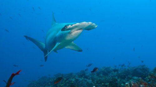Biscayne Bay Is a Baby Shark Nursery for Hammerheads