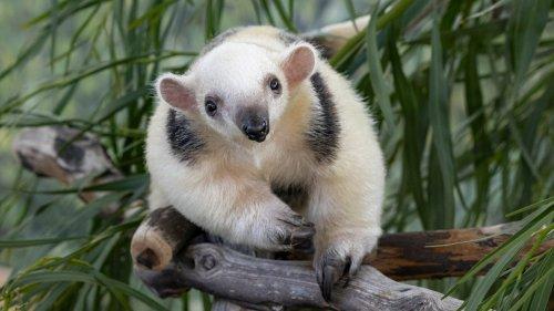 San Diego Zoo's Adorable Tamandua Pup Named After Padres Super Star