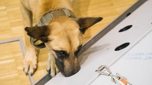 Konzerte: Corona-Spürhunde sollen Infizierte erschnüffeln