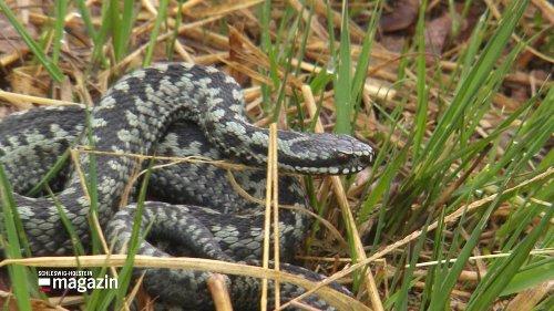 Hochbetrieb im Himmelmoor stört heimische Schlangen