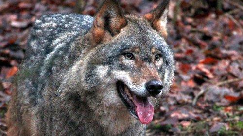 Grüne wollen mehr Infos über Wolfsabschüsse einklagen