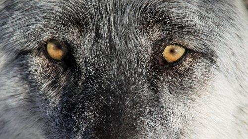 Wieder Wolf in Hamburg gesichtet