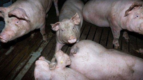 Großenwörden: Mehr als 1.100 Schweine in Stall verendet