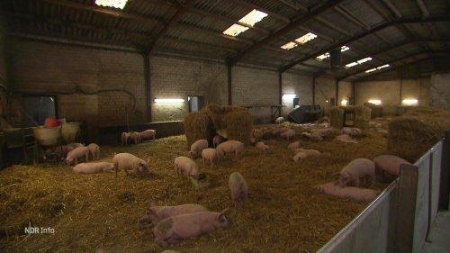 Aktivstall für Schweine: Ein Weg aus der Massentierhaltung