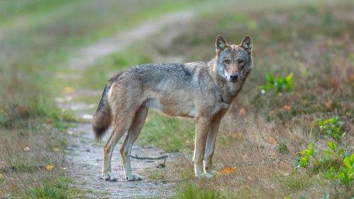 3.500 Unterschriften: Wippinger fordern Abschuss von Wolf