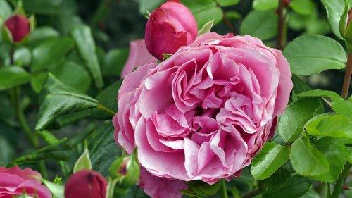 Die richtige Pflege für Rosen