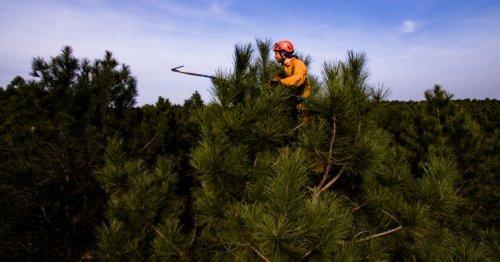 Reportage : Avec les hommes-écureuils qui récoltent les graines de nos forêts