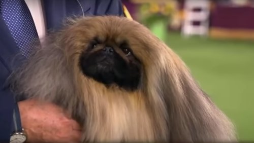 Wasabi the Pekingese Ran Away with Best in Show and our Hearts - Nerdist
