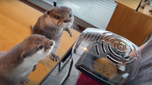 Pet Otters Get Very Confused By Owner's Popcorn Machine - Nerdist