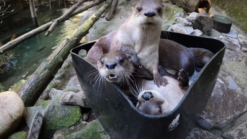 Here's Three Otters Playing in a Bucket of Ice, Just in Case - Nerdist