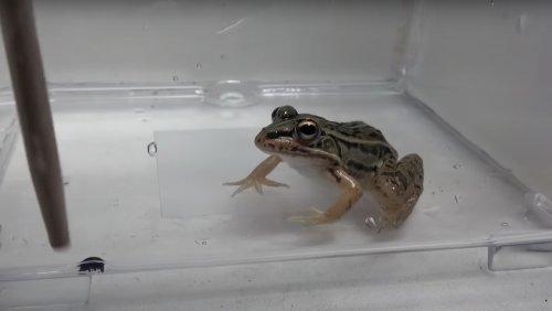 Beetles Can Survive Frog Guts and Their Exit Is Nightmarish - Nerdist