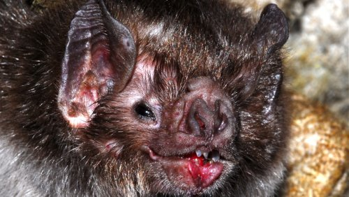 100,000-Year-Old Fossil of Largest-Ever Vampire Bat Found - Nerdist