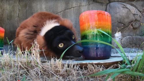 Behold a Bunch of Lemurs Munching on Jumbo Popsicles - Nerdist