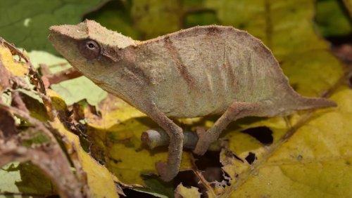 Chameleon Species Thought to Be Extinct Has Been Found - Nerdist