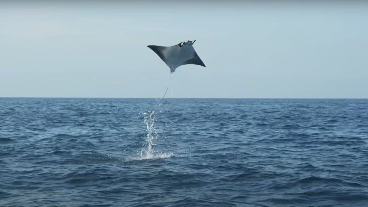 See Giant Eagle Rays Leap from the Ocean in Unreal Clip - Nerdist